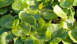 "Two plants are commonly called ""dollar weed"" in Texas. One is called that in error, actually being dichondra. True dollar weed, by comparison, has silver-dollar-size leaves that are ultimately glossy."