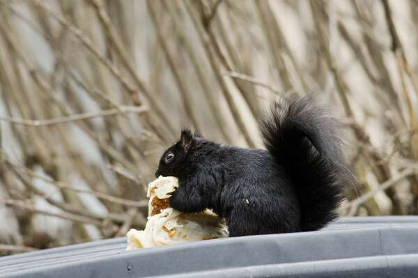 ERIN KIRKLAND | ekirkland@mdn.net An Eastern Gray Squirrel munches on a burrito while balancing on top of a trash can on Wednesday at Northwood University. Saturday, Jan. 21 is National Squirrel Appreciation Day. The holiday was created in 2001 by Christy Hargrove, a North Carolina wildlife rehabilitator.
