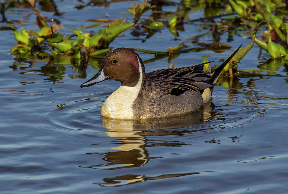 Wintering ducks like this northern pintail are easy to see at Cattail Marsh Scenic Wetlands in Beaumont's Tyrrell Park.  Photo Credit:  Kathy Adams Clark.  Restricted use. Photo: Kathy Adams Clark / Kathy Adams Clark/KAC Productions