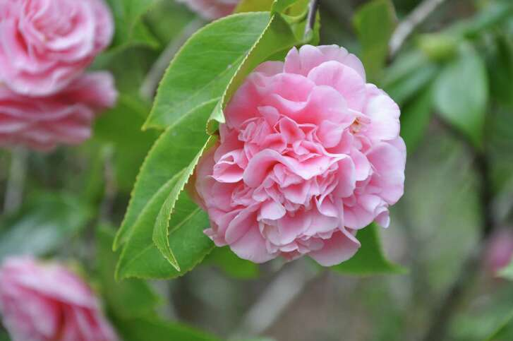 Camellias are early bloomers, adding color to the garden when little else is in flower. Camellia japonica 'Debutante'