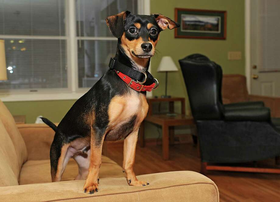 Maddux, a 7-month-old mixed breed puppy, stands on a couch at his home on Wednesday, Jan. 21, 2015 in Lake George, N.Y. The rescue dog will be staring in Animal Planet's 11th annual Puppy Bowl and is also featured on Animal Planet's Fantasy Draft Team. (Lori Van Buren / Times Union) Photo: Lori Van Buren / 00030297A