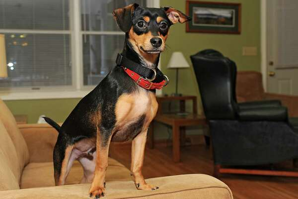 Maddux, a 7-month-old mixed breed puppy, stands on a couch at his home on Wednesday, Jan. 21, 2015 in Lake George, N.Y. The rescue dog will be staring in Animal Planet's 11th annual Puppy Bowl and is also featured on Animal Planet's Fantasy Draft Team. (Lori Van Buren / Times Union)
