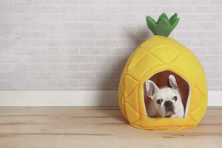 To you, this is a pineapple. To a dog, it' s a cavelike sanctuary. Most dogs don't relish being exposed in an open room. They prefer cavelike conditions that help them feel cozy and safe. Photo: Westend61 /Getty Images / This content is subject to copyright.