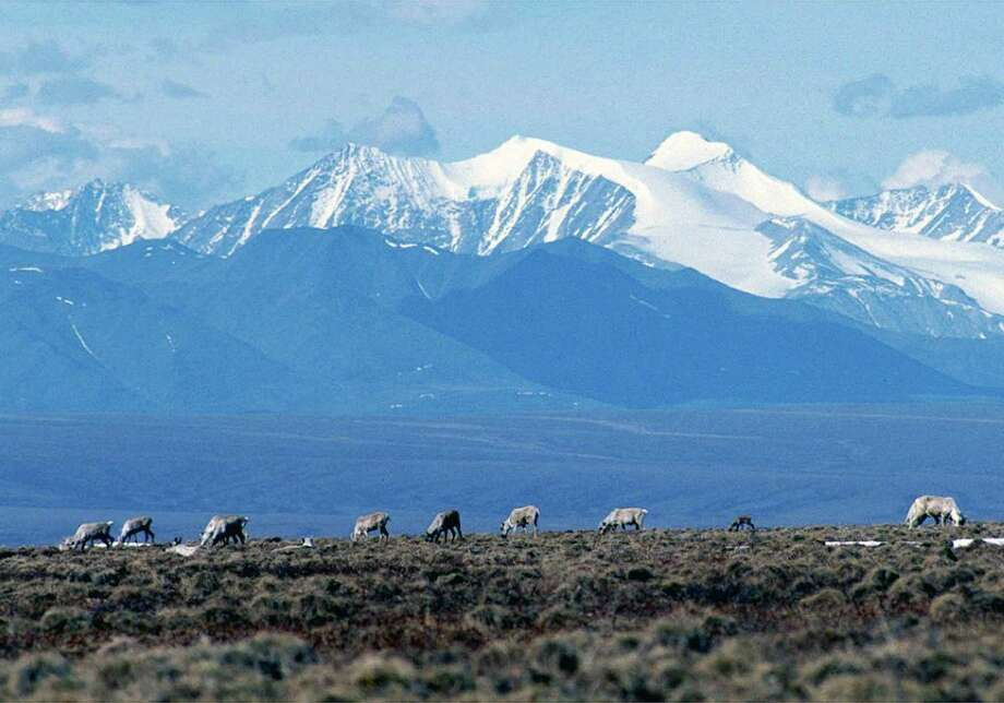 Caribou graze in the Arctic National Wildlife Refuge. While the government estimates the area could hold 12 billion barrels of crude, making it one of the biggest untapped reserves in the U.S., no one's sunk a well there since the 1980s. Photo: U.S Fish And Wildlife Service / NYTNS