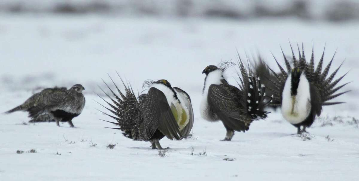 File photo of a male greater sage grouse performing their mating ritual for a female grouse outside Walden, Colo. Guidelines. Oilmen are hoping Donald Trump's White House opens drilling on federal lands.
