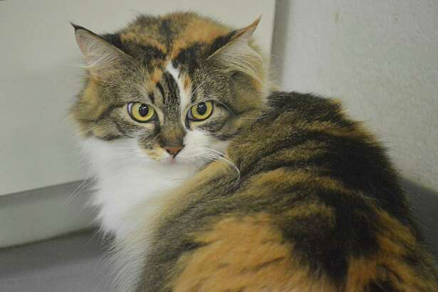 Francesca is a 1½ year-old medium-haired calico with a friendly disposition, is new to the Bay Area Pet Adoptions shelter in San Leon. Check out all of the dogs and cats available for adoption at www.bayareapetadoptions.org or visit the facility at 3000 Avenue R, San Leon. The shelter is open every day except Wednesday from 11 a.m. to 5 p.m. Some adoptable cats can be seen daily at PetSmart, 1921 Gulf Freeway in Dickinson. Dogs are shown at PetSmart from 11 a.m. to 4 p.m. on Saturdays and from noon to 4 p.m. on Sundays. Bay Area Pet Adoptions is this area's only non-profit, No-Kill shelter, pet rescue and adoption organization. Call 281-339-2086 for information.
