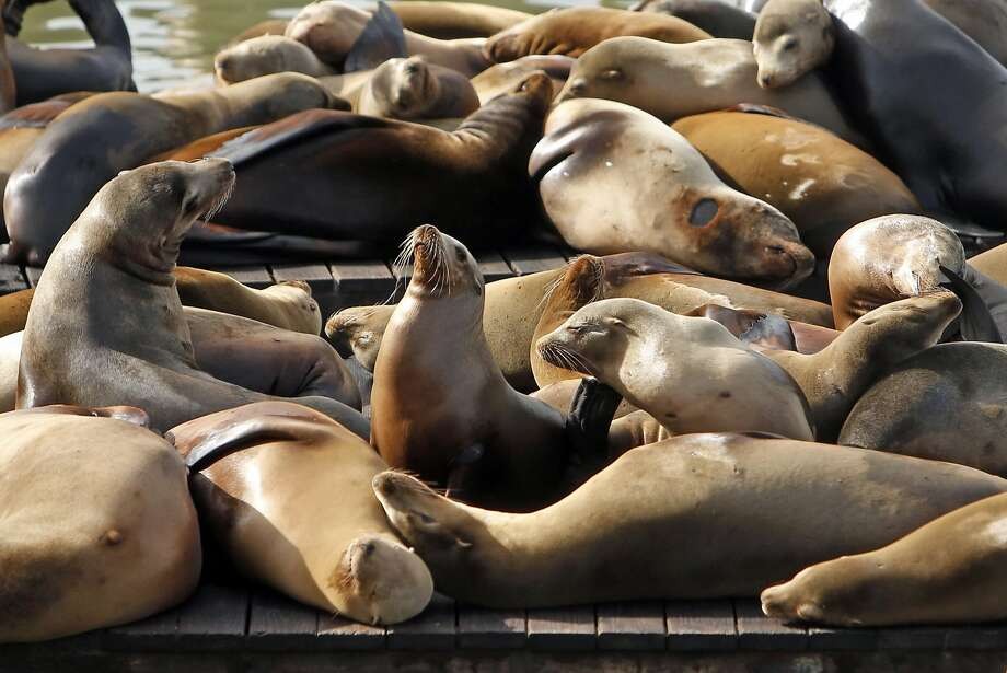 FILE – Sea lions relax at Pier 39 in San Francisco in this file photo from Sunday, January 22, 2017. Marine experts in the San Francisco Bay Area say an alarming number of sea lions are being treated for poisoning linked to toxic algae blooms. Photo: Scott Strazzante, The Chronicle