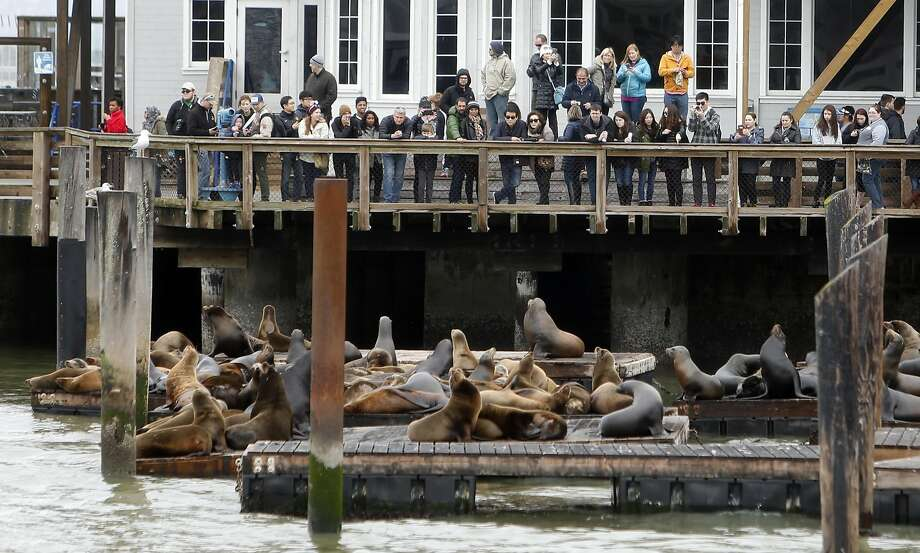 Visitors on Pier 39 in San Francisco watch a group of sea lions. The animals took up residence on the docks after the Loma Prieta earthquake in 1989. Photo: Scott Strazzante, The Chronicle