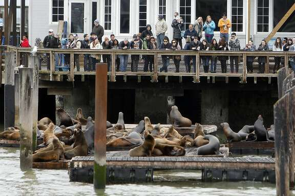 Visitors look at a group of sea lions during 27th anniversary of the sea lions taking up residence at Pier 39 in San Francisco, Calif., on Sunday, January 22, 2017.