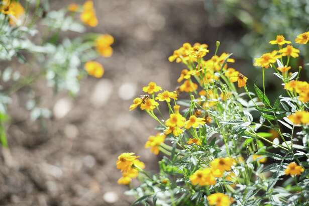 A bee pollinates one of the flowers within the new pollinator garden at the Houston Zoo.
