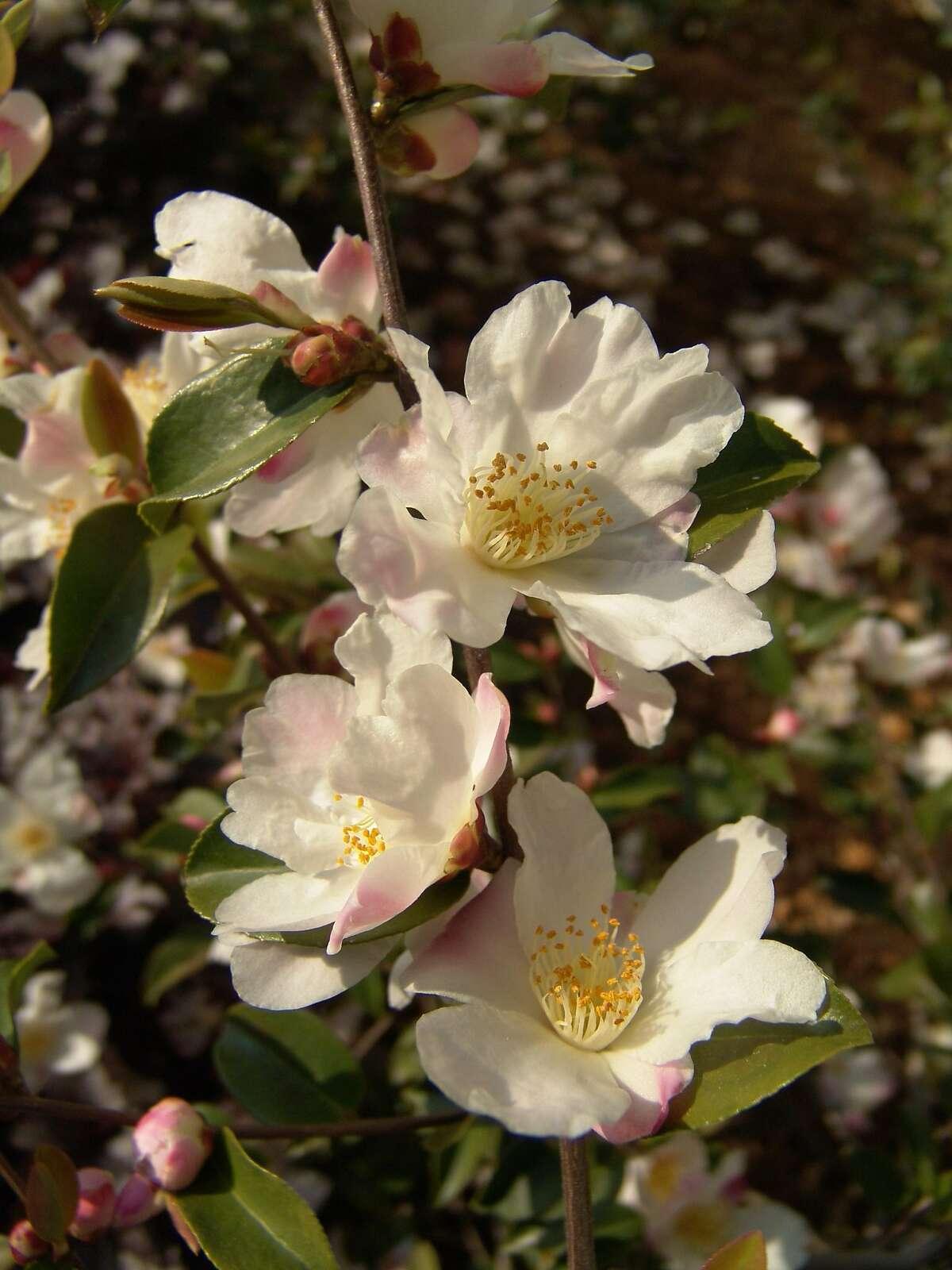 Camellia 'Fairy Blush.' Credit: Richard Shiell / Monrovia