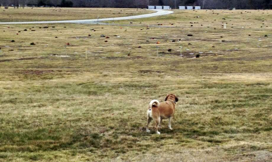 In this Monday, Feb. 1, 2016 photo, a Puggle named Artie stands on the grounds of the Rhode Island Veterans Memorial Cemetery in Exeter, R.I. Several people were buried in the wrong graves at the veterans' cemetery because grave markers in one row were off by a burial plot. Veterans Affairs Director Kasim Yarn apologized on Monday, Jan. 23, 2017, for the grave mix-up. (AP Photo/Jennifer McDermott, File) Photo: Jennifer McDermott, STF / Associated Press / Copyright 2017 The Associated Press. All rights reserved.