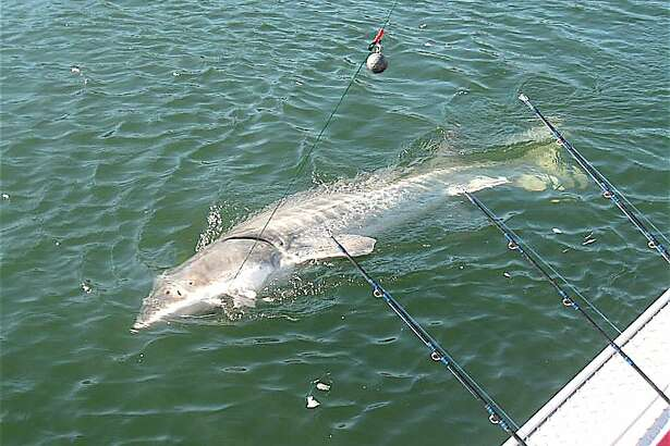 A big sturgeon, hooked and fought by Jeff Ague, is brought alongside the boat before release
