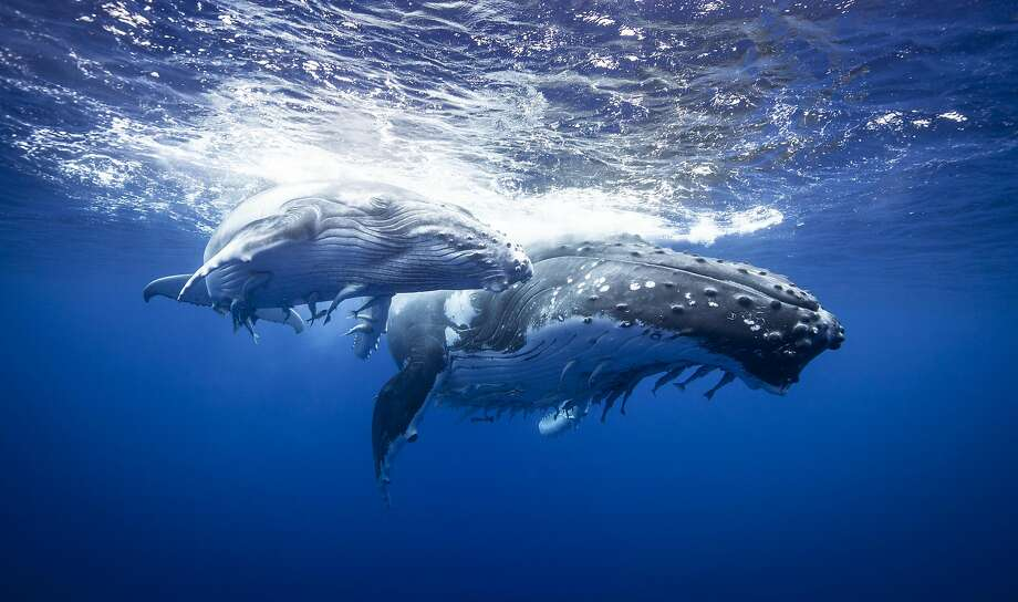 Megaptera novaeangliae (Humpback Whale) female and calf, Vava'u Island Group, Tonga Photo: Cultura RM Exclusive/Richard Robinson, Getty Images/Cultura Exclusive