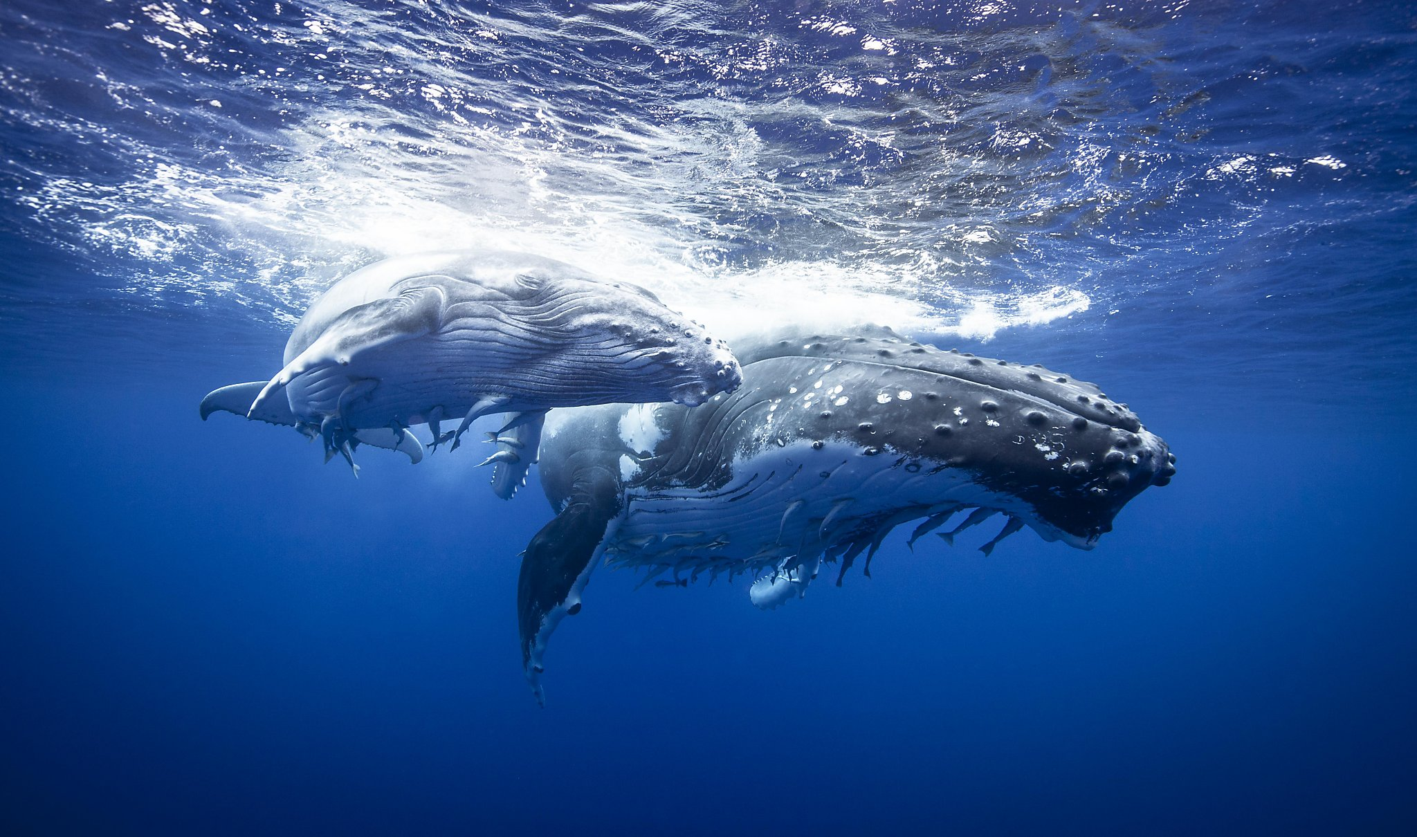 Mysterious humpback whale 'super-groups' baffle global scientists