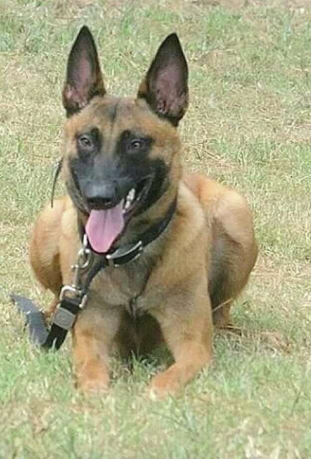 Spring Creek K9, a Magnolia-based facility that trains dogs for military, government, law enforcement and contract services, donated Kaution, a male Malinois trained in narcotics protection and patrol, to the Precinct 5 Constable's Office for use in battling drugs. Photo: Spring Creek K9
