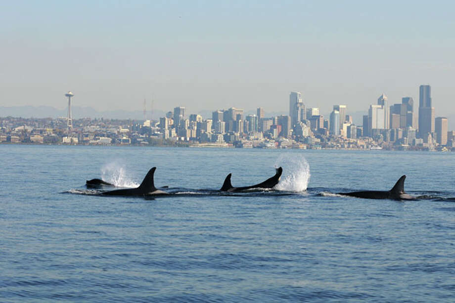 In this undated file photo, a pod of orcas swims in front of the Seattle skyline. A similar group came near the city on Monday afternoon.
