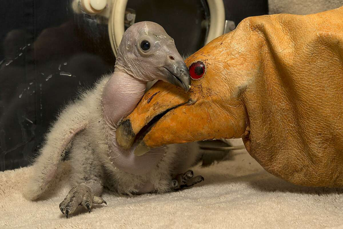 """Wesa, a two-week-old California condor chick, hatched on February 24, 2013, making this chick the first of the season at the San Diego Zoo Safari Park, is pictured with a puppet (R) on March 11, 2013 in San Diego, California. Wesa has maintained a healthy weight and has quite an appetite according to keepers, eating up to 15 mice daily. Ron Webb, a San Diego Zoo Safari Park senior condor keeper, has been monitoring Wesa closely and has been puppet rearing the chick as part of preparing Wesa to be released into the wild one day. The puppet is like a fancy glove, said Webb, """"that covers our hands so the chick does not get any beneficial experiences from people. We do not want it imprinting on people or getting used to us when it goes out into the wild. We want it to be a nice, wild animal, not relying on people for food."""" Wesa is a part of the San Diego Zoo Safari Park's highly successful California condor breeding program. Since the California Condor Recovery Program began in the 1980s, when there were only 22 condors left in the world, the Safari Park has hatched 173 chicks and released more than 80 birds into the wild. Today, there are over 400 condors, half of which are flying free at release sights in Baja California, Mexico, California and Arizona. AFP PHOTO / San Diego Zoo / Ken BOHN == RESTRICTED TO EDITORIAL USE / MANDATORY CREDIT """"AFP PHOTO / SAN DIEGO ZOO / Ken BOHN"""" / NO MARKETING / NO ADVERTISING CAMPAIGNS / DISTRIBUTED AS A SERVICE TO CLIENTS ==KEN BOHN/AFP/Getty Images"""