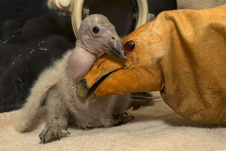 "Wesa, a two-week-old California condor chick, hatched on February 24, 2013, making this chick the first of the season at the San Diego Zoo Safari Park, is pictured with a puppet (R) on March 11, 2013 in San Diego, California.  Wesa has maintained a healthy weight and has quite an appetite according to keepers, eating up to 15 mice daily. Ron Webb, a San Diego Zoo Safari Park senior condor keeper, has been monitoring Wesa closely and has been puppet rearing the chick as part of preparing Wesa to be released into the wild one day.  The puppet is like a fancy glove, said Webb, ""that covers our hands so the chick does not get any beneficial experiences from people. We do not want it imprinting on people or getting used to us when it goes out into the wild.  We want it to be a nice, wild animal, not relying on people for food."" Wesa is a part of the San Diego Zoo Safari Park's highly successful California condor breeding program.  Since the California Condor Recovery Program began in the 1980s, when there were only 22 condors left in the world, the Safari Park has hatched 173 chicks and released more than 80 birds into the wild. Today, there are over 400 condors, half of which are flying free at release sights in Baja California, Mexico, California and Arizona.  AFP PHOTO / San Diego Zoo / Ken BOHN  == RESTRICTED TO EDITORIAL USE / MANDATORY CREDIT ""AFP PHOTO / SAN DIEGO ZOO / Ken BOHN"" / NO MARKETING / NO ADVERTISING CAMPAIGNS / DISTRIBUTED AS A SERVICE TO CLIENTS ==KEN BOHN/AFP/Getty Images"