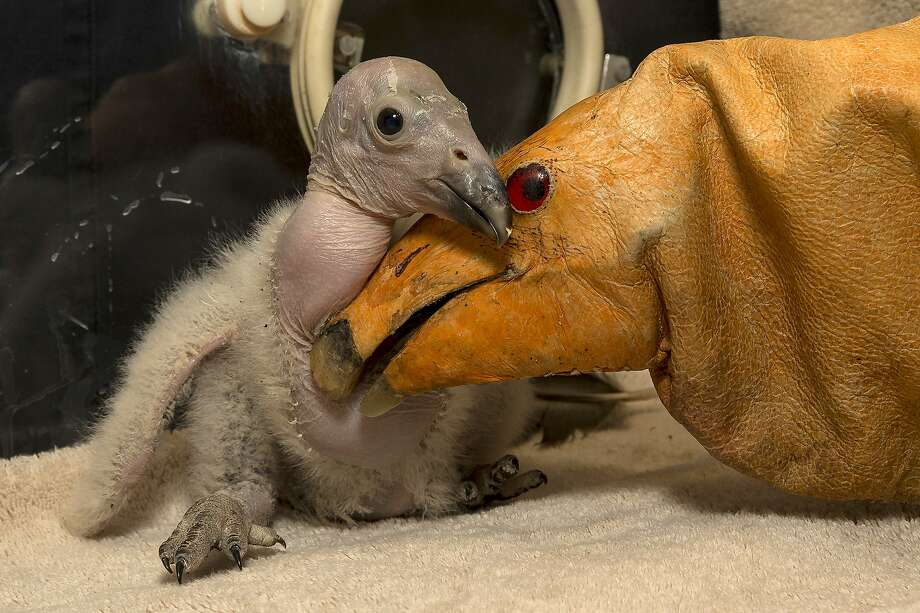 Wesa, a two-week-old California condor chick hatched on February 24, 2013, at the San Diego Zoo Safari Park, is pictured with a puppet (R) on March 11, 2013 in San Diego, California. Photo: KEN BOHN, AFP/Getty Images