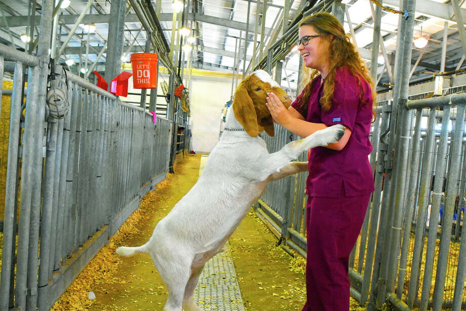 Cy-Fair ISD student Cheyenne Feagin tends to her prize goat, Ferguson. The Cypress Fairbanks Independent School District is set to hold its 23rd      Annual Cy-Fair ISD Livestock Show Association Show and Sale on Feb. 2-4 at      the district's exhibit center. CISD students from all of the district's high schools will participate        in the event's show and sale. The district expects approximately 650        student exhibitors and 850 student projects and animals will be        exhibited and judged at the event. Photo: N/a