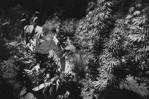 """August 7, 1985: """"Barry Inman, pot hater, wrecks a pot garden near Willits, CA."""""""