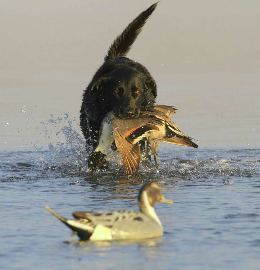 Many waterfowlers across Texas reported more seeing and bagging more pintails during the 2016-17 duck season than they did in the past two seasons. The 2016-17 duck season ends at sunset Sunday. Photo: Shannon Tompkins