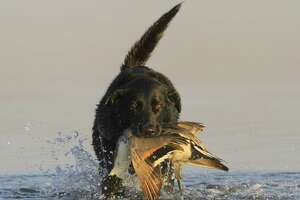 Many waterfowlers across Texas reported more seeing and bagging more pintails during the 2016-17 duck season than they did in the past two seasons. The 2016-17 duck season ends at sunset Sunday.