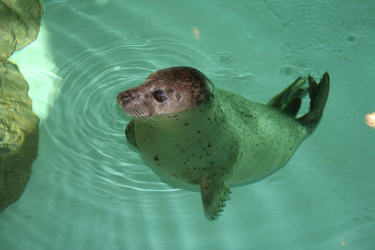 The Maritime Aquarium's Animal Rescue Program in Norwalk invites seal lovers to jump into the Long Island Soundwill onSaturday for its annual Seal Splash. Find out more.