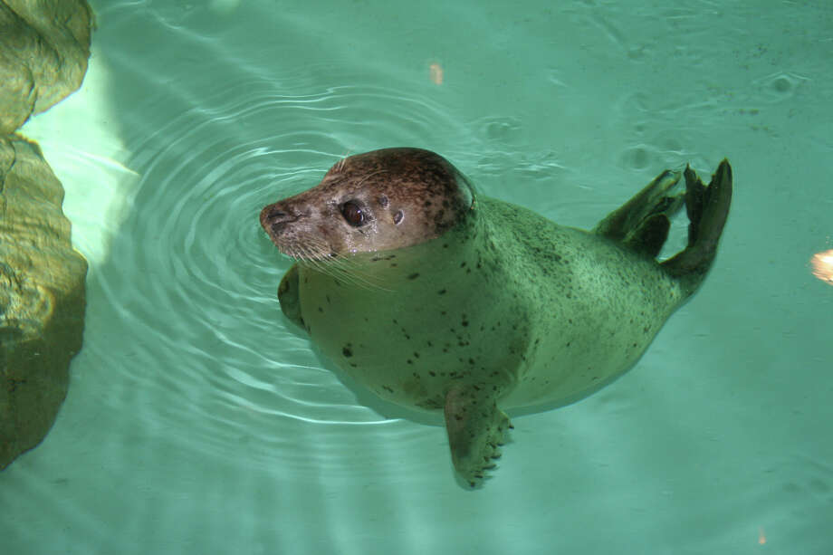 The Maritime Aquarium's Animal Rescue Program in Norwalk invites seal lovers to jump into the Long Island Soundwill onSaturday for its annual Seal Splash. Find out more. Photo: Maritime Aquarium