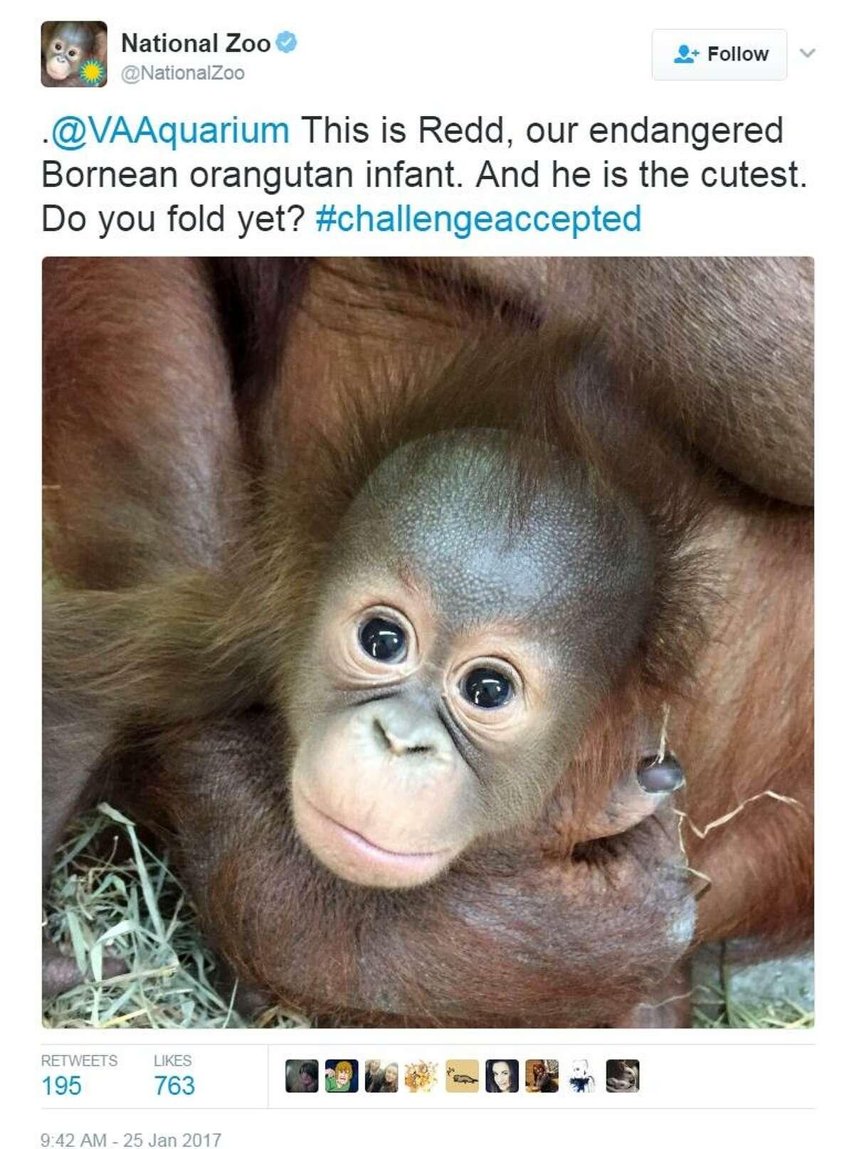 National Zoo tweet of Redd the orangutan for #CuteAnimalTweetOff.