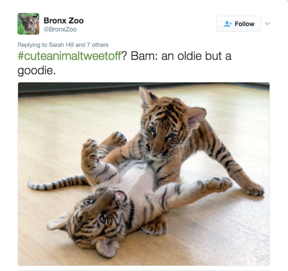 Then a game took shape with a couple of tiger cubs from the Bronx Zoo. Twitter