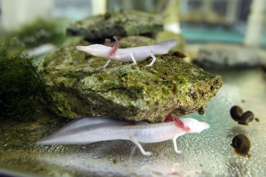Two Texas blind salamanders rested on a rock in an aquarium at a San Marcos research lab in 2013. Hundreds of salamanders vanished from the lab during Thanksgiving week in 2016. There is a $15,000 reward for information to anyone who can help find the salamanders and convict the perpetrator, if indeed there were stolen. Photo: Tom Reel /San Antonio Express-News / San Antonio Express-News