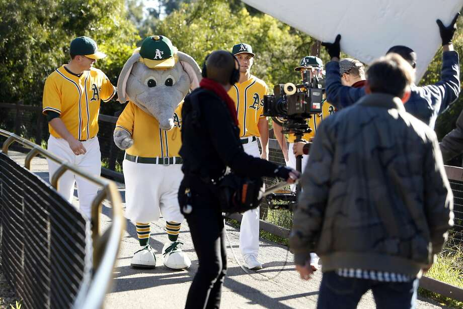 Ryon Healy, Stomper, Kendall Graveman and Sonny Gray (left to right) film an A's commercial at the Oakland Zoo. Photo: Scott Strazzante, The Chronicle