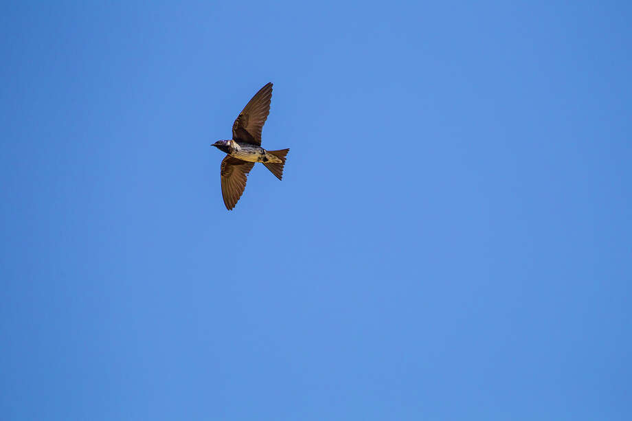 Purple martins will be returning to our area from wintering grounds in South America. By summer, our skies will be filled with adults and juvenile martins. Photo: Kathy Adams Clark / Kathy Adams Clark/KAC Productions