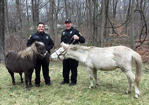 Police roundup horses on ansonia border connecticut post