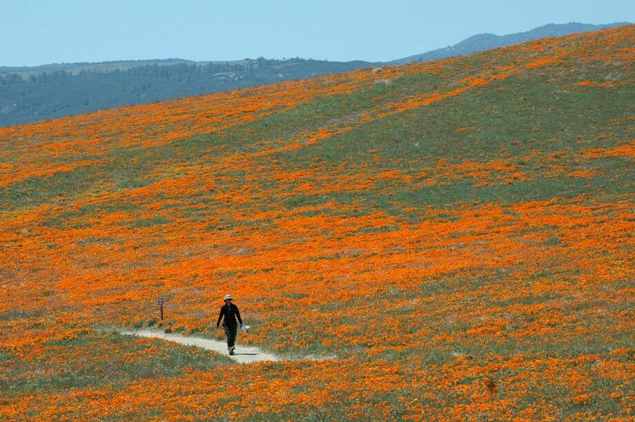 A visitor to the Antelope Valley California Poppy Reserve, hike the trails on Wednesday, April 16, 2008, during the height of the blooming season. The reserve is located in the western Antelope Valley at an elevation ranging from 2600-3000 feet, in the high desert in Lancaster, California.  Photo: Robbin Goddard/LA Times Via Getty Images