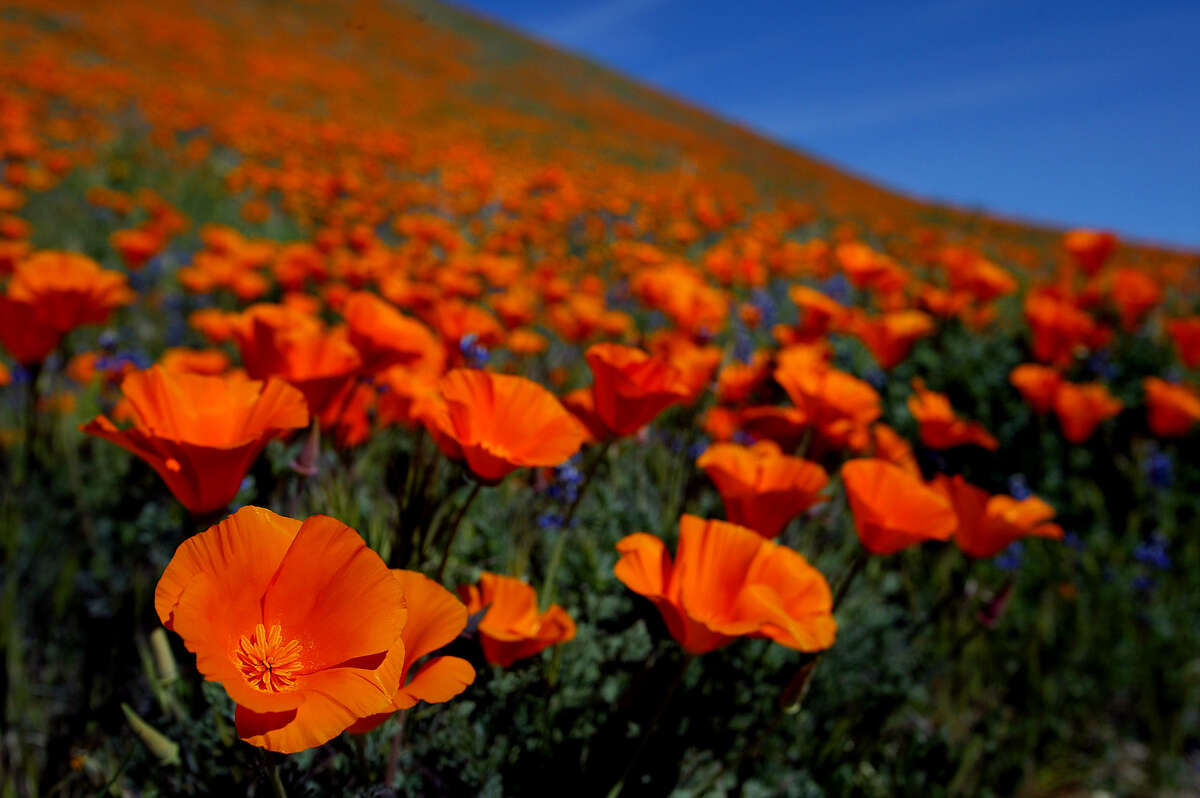 A blanket of orange covers a hillside outside of Lancaster as the California Poppies at theCalifornia Poppy Reservecome into bloom.