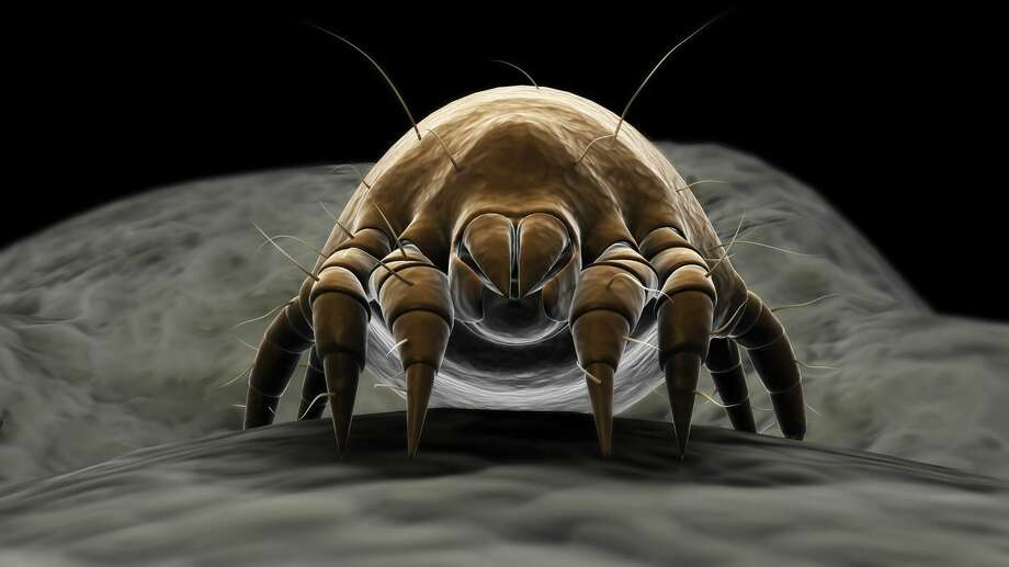 Microscopic dust mites