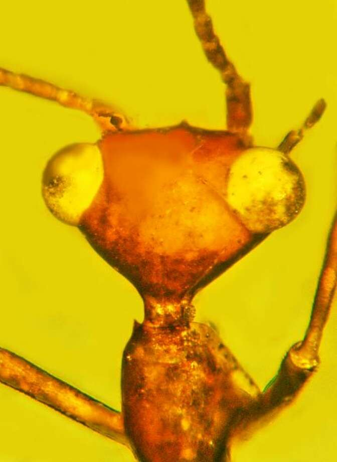 A mystery insect trapped in amber for 100 million years has caught the interest of scientists and the California Academy of Sciences in San Francisco. Photo: George Poinar Jr., Courtesy Of Oregon State University