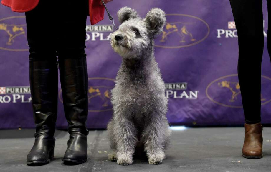 The Pumi is seen during a press conference January 30, 2017 in New York to announce three new breeds that will be eligible to compete in the 141st Westminster Kennel Club Dog Show.  The three new breeds eligible to compete in the 141st Westminster Kennel Club Dog Show on February 13 and 14 are, the American Hairless Terrier, the Pumi, and the Sloughi. / AFP PHOTO / TIMOTHY A. CLARYTIMOTHY A. CLARY/AFP/Getty Images Photo: TIMOTHY A. CLARY / AFP or licensors