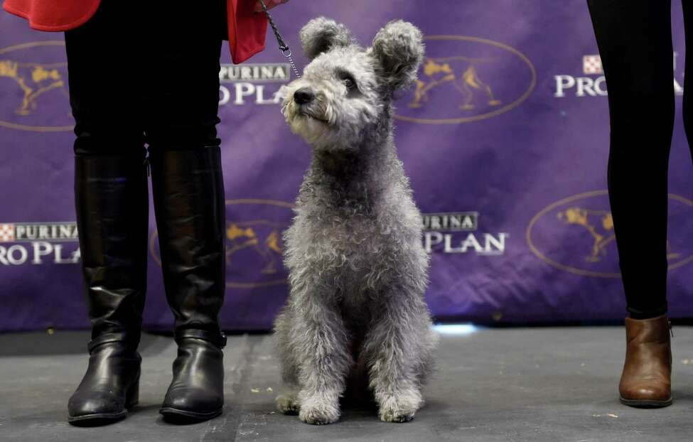 The Pumi is seen during a press conference January 30, 2017 in New York to announce three new breeds that will be eligible to compete in the 141st Westminster Kennel Club Dog Show. The three new breeds eligible to compete in the 141st Westminster Kennel Club Dog Show on February 13 and 14 are, the American Hairless Terrier, the Pumi, and the Sloughi. / AFP PHOTO / TIMOTHY A. CLARYTIMOTHY A. CLARY/AFP/Getty Images