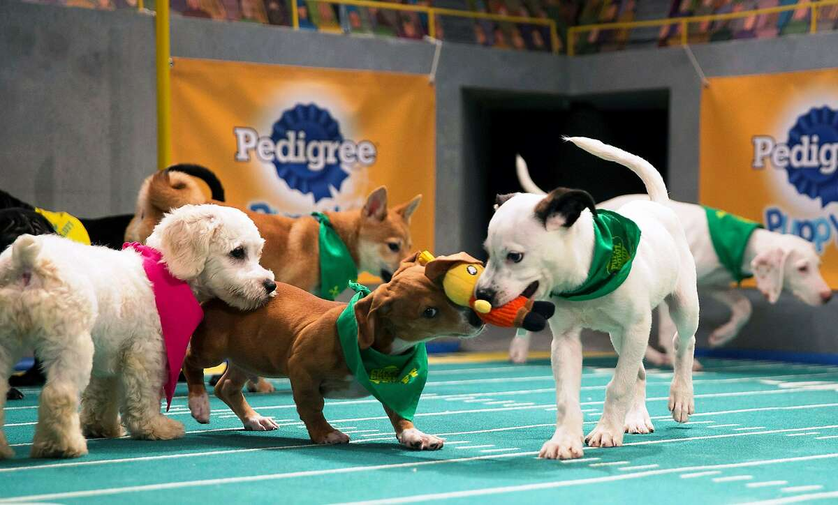 A scene from Puppy Bowl XIII, the latest pre-Super Bowl competition. It airs before SB LI in Houston.