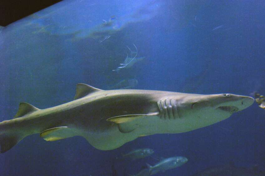 Sand Tiger Shark LI Sound resident The sand tiger shark is second only to the great white when it comes to human attacks. Their serrated teeth can cut through anything, and they eat pretty much anything from seals to birds to old tires, according to National Geographic.