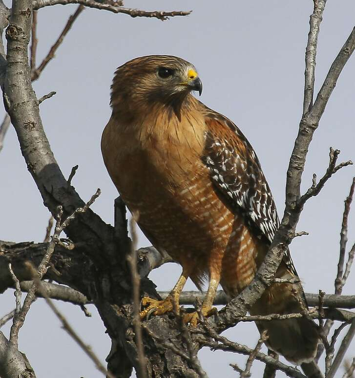 Raptors like this red-shouldered hawk prey on mice, voles, rabbits and squirrels and are at peak abundance across the foothills of the Bay Area