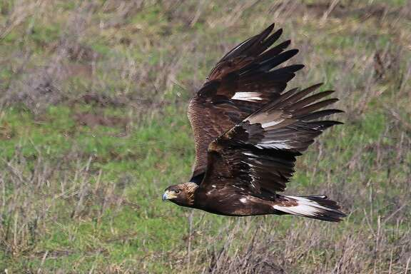 A golden eagle is among the most fierce predators of the sky and they have populated the East Bay hills near Sunol at high numbers to feed on mice, voles, rabbits and squirrels, and are at peak abundance in winter across the foothills of the Bay Area.