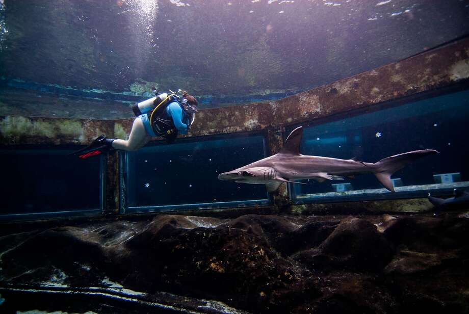 Sea Life Park's new Shark Tank Scuba experience takes novice and experienced divers into a 300,00-gallon tank that includes blacktip reef sharks, whitetip reef sharks, sandbar sharks and scalloped hammerheads, as well as stingrays and fish. Photo: Raf Kania