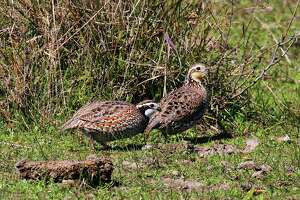 The 2016-17 Texas quail season, which continues through Feb. 26, has been the best in the past 30 years in some regions, as quail populations boomed with three consecutive years of great habitat conditions triggered by timely rains and mild weather.