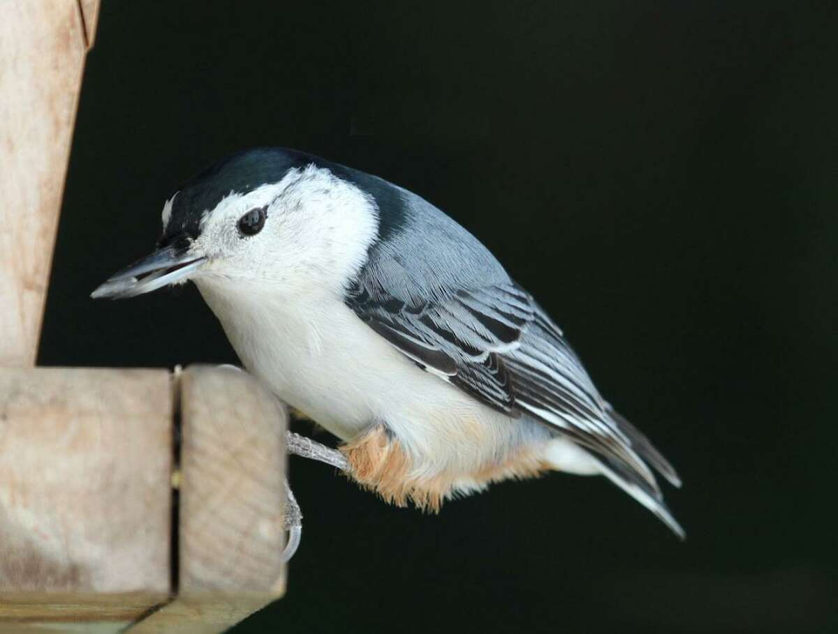 A white-breasted nuthatch takes a sunflower seed from a feeder during a New England winter.