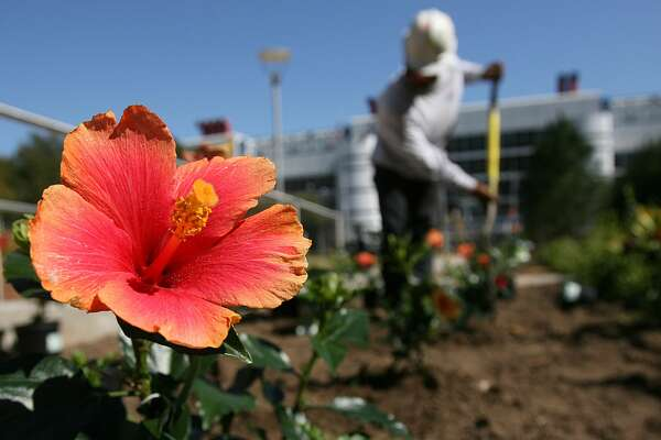 Mrs.Jimmy Spangler Hibiscus are planted in the Wortham Foundation Gardens at the new Discovery Green Park which will be opening soon across the street from George R. Brown Convention Center on Wednesday, March 5, 2008 in Houston, TX.  Photo by Mayra Beltran / Chronicle